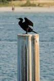 Cormorant che asciuga le sue ali Immagine Stock Libera da Diritti