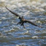 Cormorant che atterra sul fiume della volpe fotografia stock