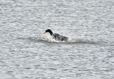Cormorant che gioca con acqua fotografia stock