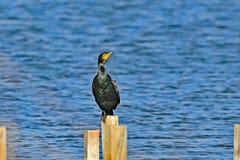 Cormorant che grida alto immagini stock