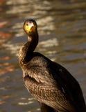 Cormorant che guarda intorno Fotografia Stock Libera da Diritti