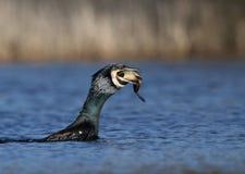 Cormorant che inghiotte un pesce immagine stock