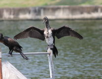 Cormorant. Is claping for dry Royalty Free Stock Photos