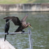 Cormorant. Is claping for dry Stock Photography