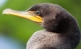 Cormorant. Closeup of fledgling Double-crested Cormorant (Phalacrocorax auritus Stock Photos
