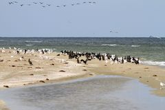 Cormorant colony on the beach Royalty Free Stock Images