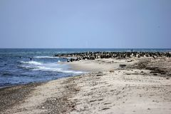 Cormorant colony at the Darsser place Stock Image