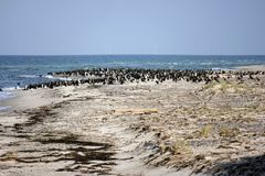 Cormorant colony at the Darsser place Stock Images