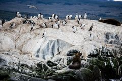 Cormorant colony on an island at Ushuaia in the Beagle Channel Beagle Strait, Tierra Del Fuego, Argentina.  Stock Photos