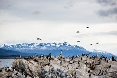 Cormorant colony on an island at Ushuaia in the Beagle Channel Beagle Strait, Tierra Del Fuego, Argentina.  Stock Photo