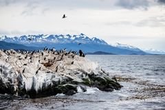 Cormorant colony on an island at Ushuaia in the Beagle Channel Beagle Strait, Tierra Del Fuego, Argentina.  stock image