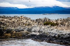 Cormorant colony on an island at Ushuaia in the Beagle Channel, Tierra Del Fuego, Argentina. Cormorant colony on an island at Ushuaia in the Beagle Channel Stock Photos