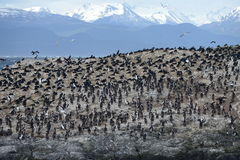 Cormorant colony on an island at Ushuaia in the Beagle Channel, Tierra Del Fuego, Argentina, South America Stock Images