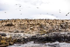 Cormorant colony on an island at Ushuaia in the Beagle Channel, Tierra Del Fuego, Argentina. Cormorant colony on an island at Ushuaia in the Beagle Channel Stock Images