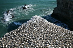 Cormorant Colony on Rock Stock Photography