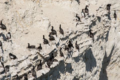 Cormorant Colony On The Rocks Stock Images