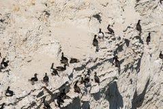 Cormorant Colony On The Rocks Royalty Free Stock Photos