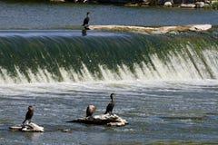 Cormorant com crista dobro Fotos de Stock Royalty Free
