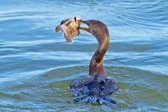 Cormorant com crista dobro Fotografia de Stock