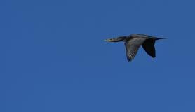 Cormorant com crista dobro Imagens de Stock