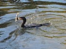 Cormorant con il pesce in bocca Fotografia Stock Libera da Diritti