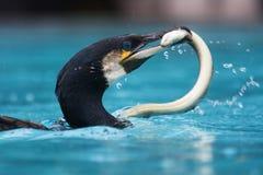 Cormorant con un eal in suo becco immagine stock