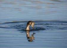 Cormorant con un pesce Immagini Stock