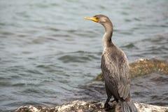 Cormorant con una gamba paralizzata Immagini Stock Libere da Diritti