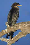 Cormorant couronné photo stock