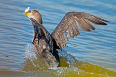 Cormorant Crested двойником стоковое фото