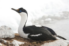 Cormorant de olhos azuis antárctico fêmea em um ninho. Imagens de Stock Royalty Free
