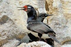 Cormorant della roccia (magellanicus del Phalacrocorax) Fotografia Stock Libera da Diritti