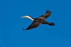 Cormorant di volo Fotografia Stock Libera da Diritti