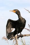 Black cormorant bird Royalty Free Stock Images