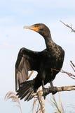 Black cormorant bird royalty free stock images
