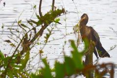 Cormorant in distress Royalty Free Stock Photo