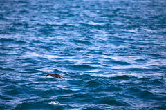 Cormorant is diving in choppy water. Shallow depth of field Stock Photography