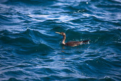Cormorant is diving in choppy water. Shallow depth of field Stock Image