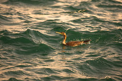 Cormorant is diving in choppy water. Shallow depth of field. Ton Royalty Free Stock Images
