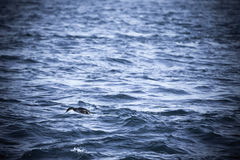 Cormorant is diving in choppy water. Shallow depth of field. Ton Royalty Free Stock Image