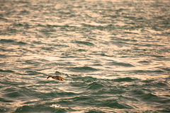 Cormorant is diving in choppy water. Shallow depth of field. Ton Stock Image