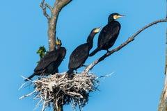 cormorant Dobro-com crista, auritus do phalacrocorax fotos de stock