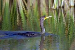 cormorant Dobro-com crista, auritus do phalacrocorax Fotos de Stock Royalty Free