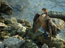 Cormorant Doppio-Crestato Immagine Stock Libera da Diritti