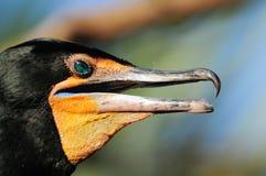 cormorant Doppio-crestato Fotografia Stock