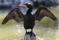 Cormorant Doppio-Crestato Fotografia Stock Libera da Diritti