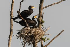 cormorant Doppio-crestato, auritus del phalacrocorax fotografia stock