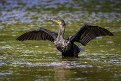 Cormorant doppio-petto Fotografie Stock