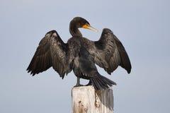 Cormorant Double-crêté était perché sur une propagation d'empilage de dock sa Photo libre de droits