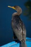 Cormorant Double-Crêté Photographie stock
